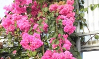 bougainvillea-double-blossom-pink