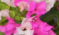 bougainvillea-mary-palmer