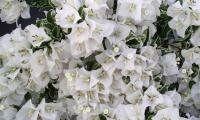 bougainvillea-white-stripe