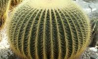 Bogarub-echinocactus-grusonii-1