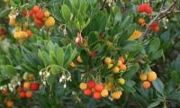 arbutus unedo corbezzolo