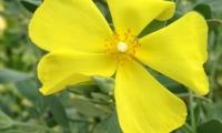 halimium-atriciplifolium-w