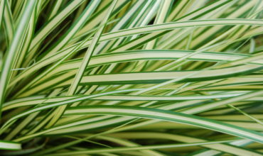 Evergold_Sedge_Carex_oshimensis_'Evergold'_Leaves_3008px
