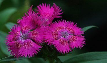 aromatic-flowers