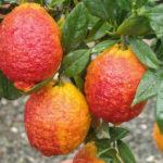 Limone-Rosso