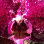 35-sua-maesta-l-orchidea