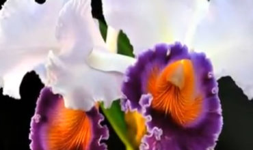 celandroni-orchidee