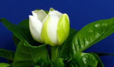 gardenia-flower-1