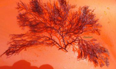 alga-rossa-3-aprile
