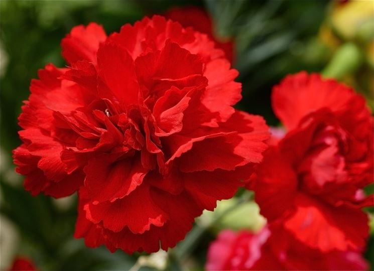 Garofano, il fiore degli dei