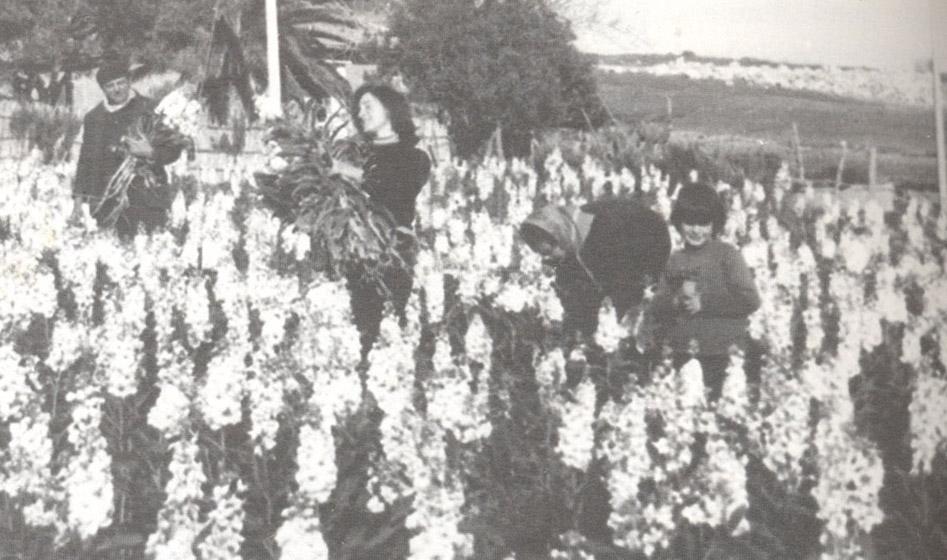 Anno 1966: la raccolta delle viole