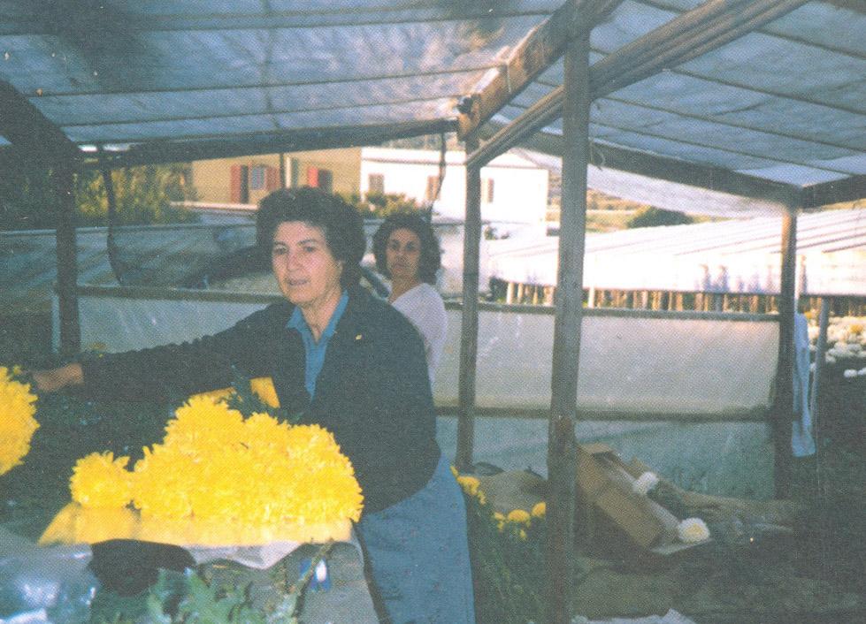 Confezionando crisantemi